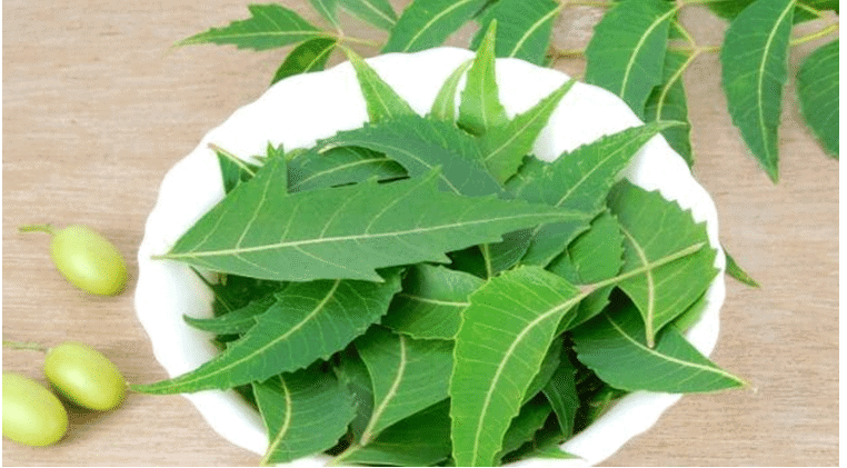 Extraordinary Benefits Medicinal Uses of Neem for Skin, Hair, And Health