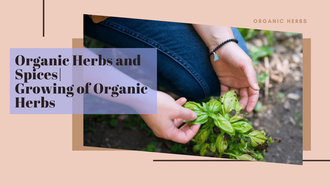 Organic Herbs and Spices Growing of Organic Herbs